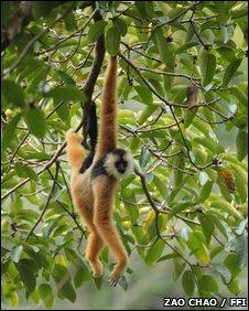 Cao vit gibbon (Nomascus nasutus)