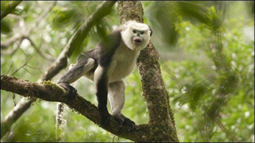 Tonkins snub-nosed monkey