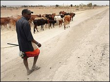 Masai tribesman herds his cattle