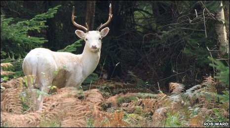 A white stag in the Forest of Dean