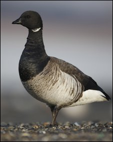 A light-bellied brent goose