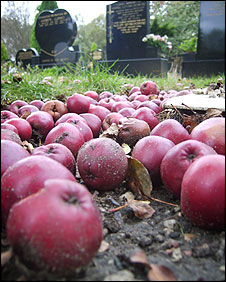 _46462758_rotting_apples_226