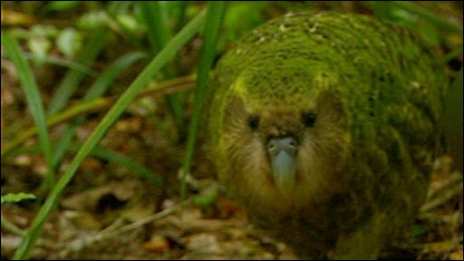 kakapo