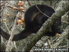 Black and gold howler monkey (Alouatta caraya)
