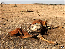 Dead cow in Kenyan drought