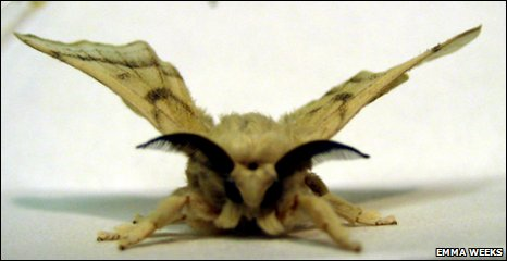 Silkworm moth (bombyx mori)
