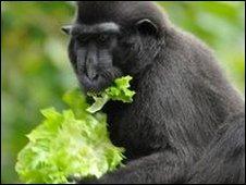 Monkey eating lettuce