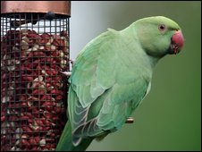 A parakeet in London