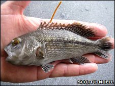 Tagged black sea bass (Scott Lindell)