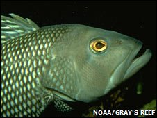 Black sea bass  (Noaa Gray's Reef National Marine Sanctuary)