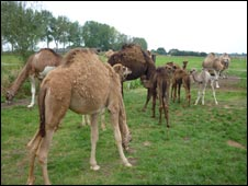 Camels in Comvoirt