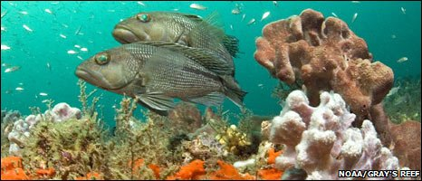 Black sea bass (Greg McFall/Noaa Gray's Reef National Marine Sanctuary)