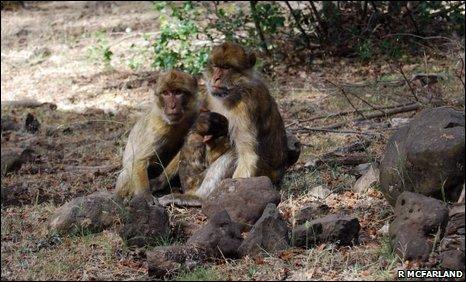 Female babary macaques (Macaca sylvanus)
