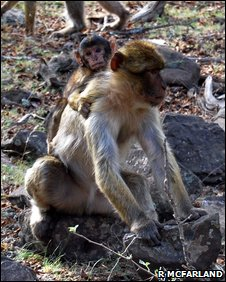 Female babary macaque and infant (Macaca sylvanus)
