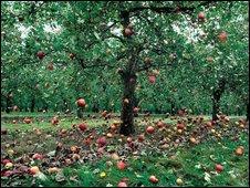 Falling cider apples