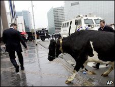 A businessman moves to avoid a cow in central Brussels