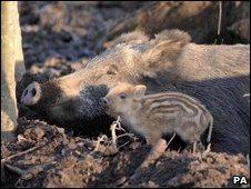Wild boar. Pic: PA