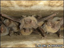 Brazilian free-tailed bats under bridge (Louise Allen, Nickolay Hristov)