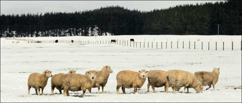 46503070 snow sheep - Week in Photos...