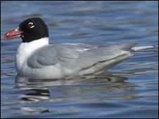 Mediterranean gull (Sue Tranter/RSPB)