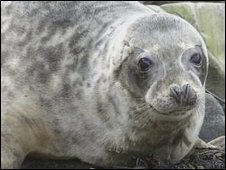 A grey seal (generic)