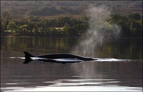 Whale in Loch Eil
