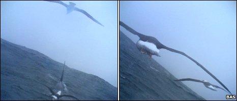 Albatrosses (BAS)