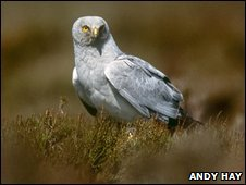 Hen harrier Circus cyaneus, adult male