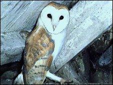 Barn owl in barn