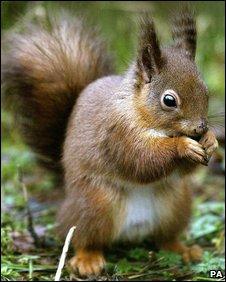 Red squirrel (Photo: Owen Humphreys/PA Wire)