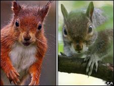 Red abd grey squirrels