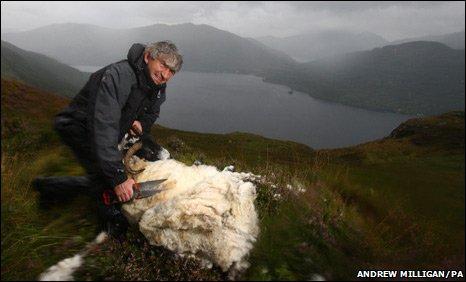 Shepherd shearing a ewe in Loch Lomond