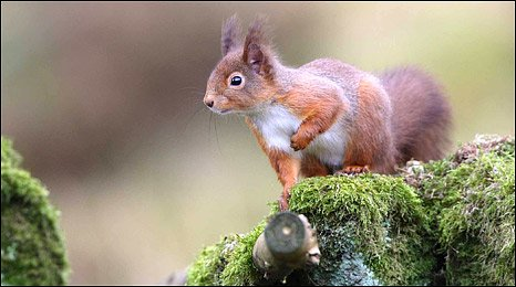 Red Squirrel (Photo: Nigel Housden)