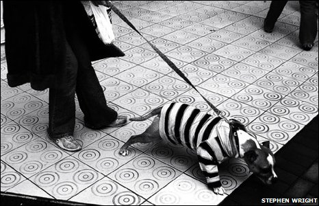 Dog on a lead with a stripy top