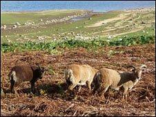Soay sheep near Derwent Reservoir