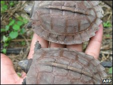 Endangered Burmese turtles