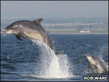 Bottlenose dolphin in Moray Firth. Photo by Rob Ware