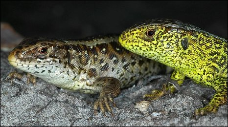 Adult female (brown) and adult male (green) sand lizards. Copyright of Fred Holmes
