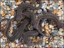 Captive bred, juvenille sand lizards. Copyright of Fred Holmes
