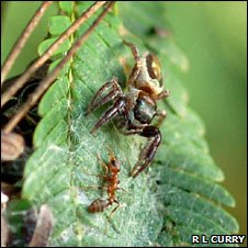 Bagheera kiplingi spider and ant (R. Curry)