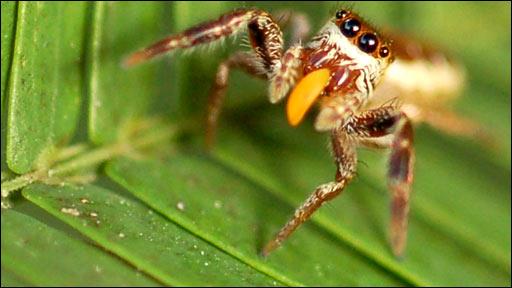 Bagheera kiplingi spider (R. Curry)
