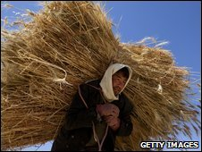 An Afghan man harvests wheat