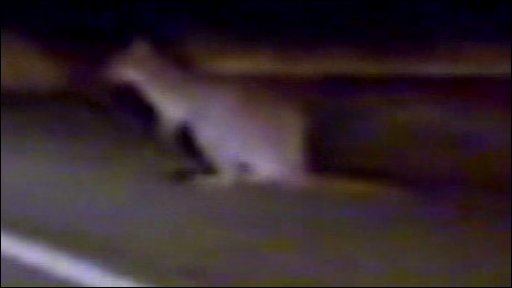 the wallaby on the loose- from video footage by Jonathan Kennedy