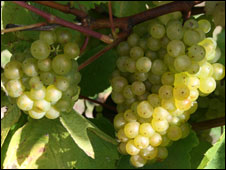 Chardonnay grapes at Nyetimber vineyard