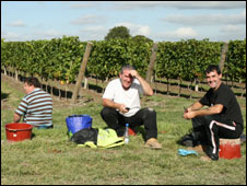 Grape pickers at Nyetimber vineyard