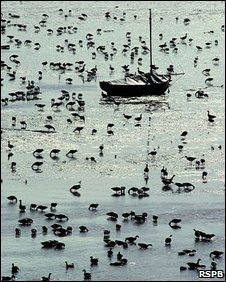 Brent geese at Old Leigh