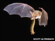 Pallid bat (Antrozous pallidus)