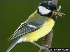Great tit (Parsus major)