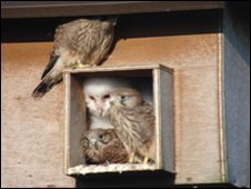 Barn owl and kestrels sharing nest box (RSPB)