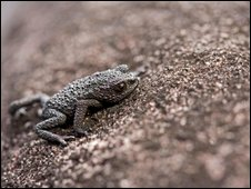 Pebble toad (Oreophrynella niger)